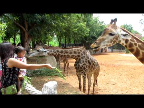 Giraffe Exhibit at the Korat Zoo